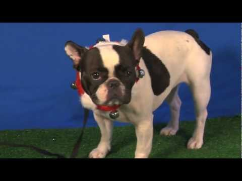 """Cute Little """"Bully dog"""" Daisy is no bully in Talent Hounds audition"""