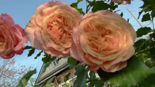 Как подготовить розы первого года к зиме(посадка весна 2020года)