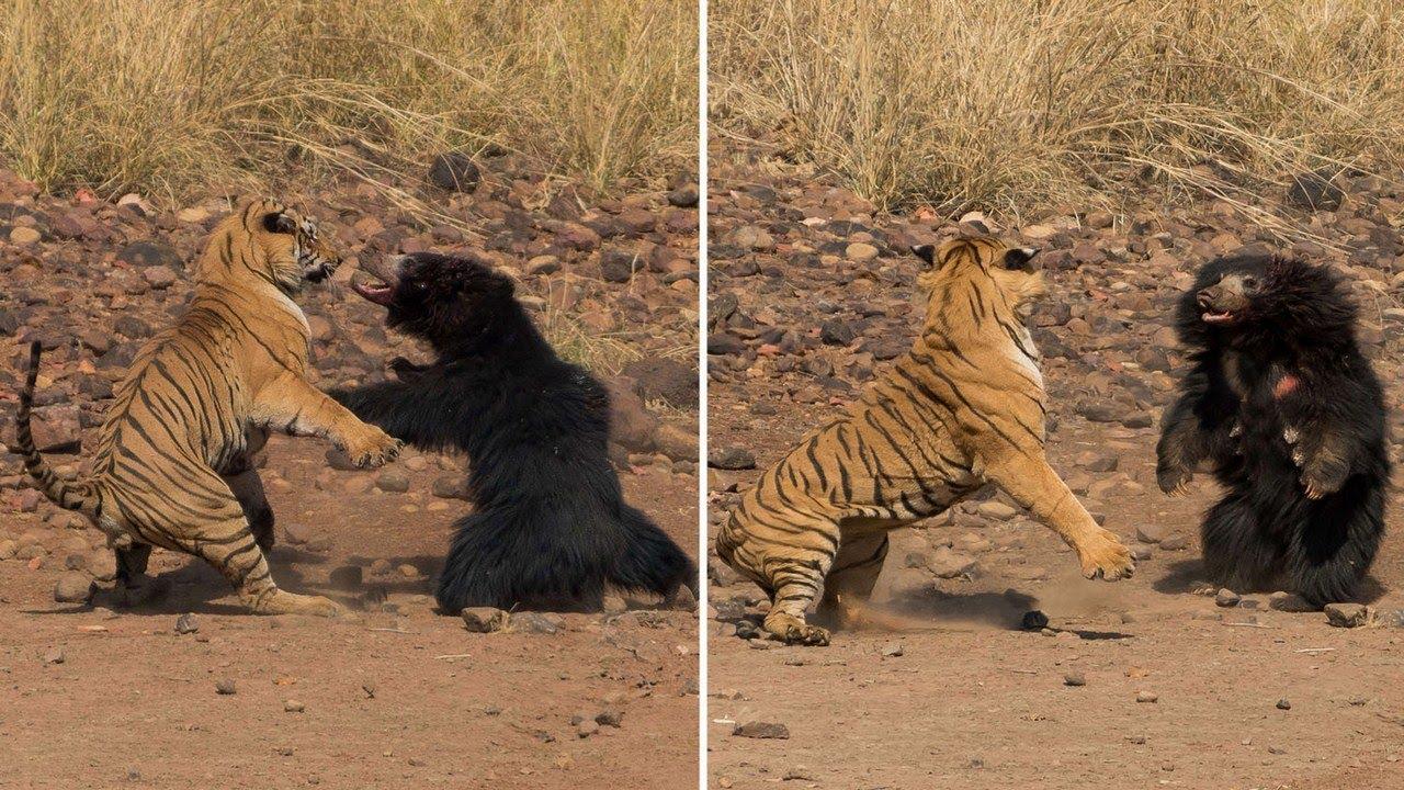 معركة دامية بين نمر بنغالي وأشد الدببة فتكًا في العالم