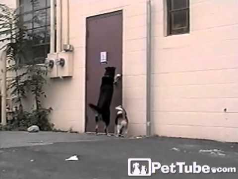 Three-Legged Dog Comes to the Rescue- PetTube
