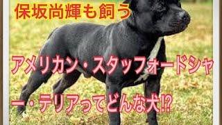ペットで犬を飼おうと迷っている方へ〜アメリカン・スタッフォードシャ...