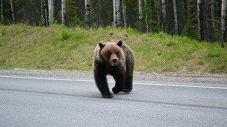 По дорогам Сургута бегает медведь