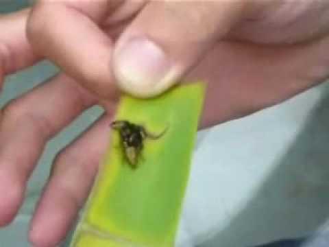 紅撲 vs 黑撲 (jumping spider)金絲貓