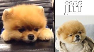 Jiffpom | Dog ► Jiff sad 2016 | Dog Fail 2016 | Cute animals | New funny Jiff #064
