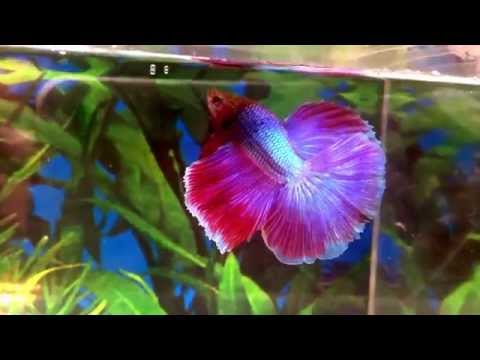 RED And BLUE Male HM Halfmoon Betta - Fighting Fish FOR SALE