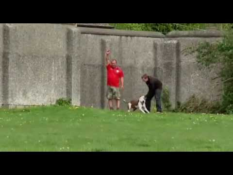 Ireland's Pit Bull Terrier's Association - ACES Event - Lure Racing
