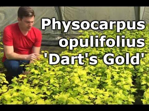 Physocarpus opulifolius 'Dart's Gold' - Aranysárga hólyagvessző