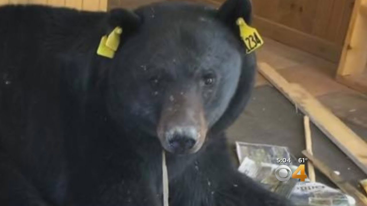 Bear Euthanized After Breaking Into Post Office