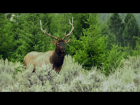 Vocal Montana Bull | Archery Elk Hunt