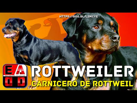 ROTTWEILER -  El poderoso perro Moloso del carnicero de Rottweil. EADD CHANNEL