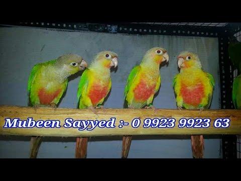 Conure parrot Breeding Setup