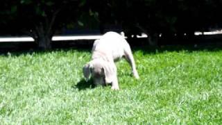 Weimaraner Pups At 7 Weeks Old - Hanson Weimaraners/sun Colors Ranch Llc