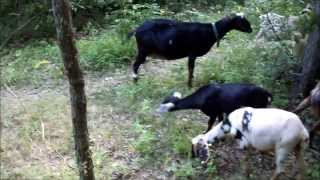 Working livestock guardian dogs in training (4 months old)