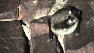 Swarming bats in Dinaburg fortress, Daugavpils