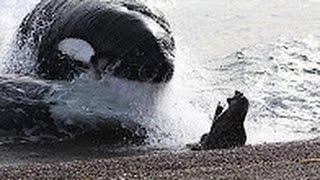 Охота кaсаток на тюленей. Волки океана / Касатка Ferrari дикой природы - Уникальные кадры