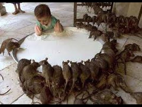 Chuột Cống Khổng Lồ-Những con chuột lạ lùng