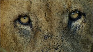 Scary Man-eating Lions | Ultimate Killers | BBC