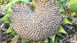 When and How to Harvest Sunflower Seed Heads
