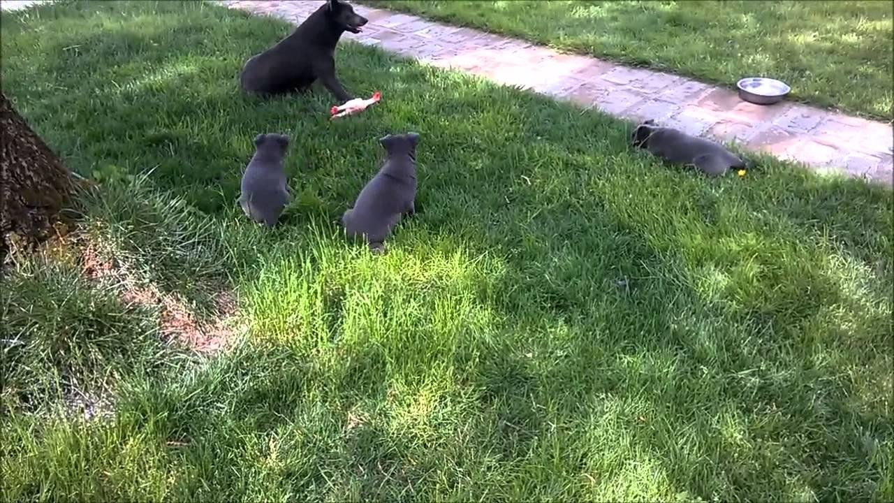Australian Kelpie Puppies Youtube