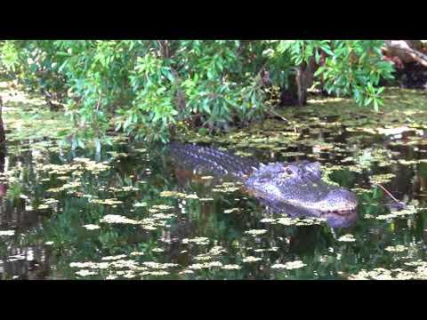 mama alligator guarding her nest - August 17, 2018