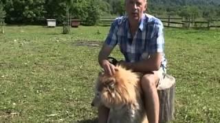 Череповчанин разводит собак породы хаски