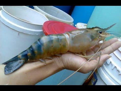 Giant Freshwater Prawn - YouTubeFreshwater Shrimp