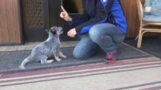 Cattle Dog Pup Antares`s 1st Training