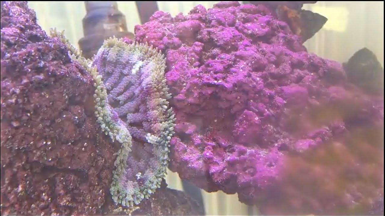 Feeding my Mini Carpet Anemone shrimp. - YouTube