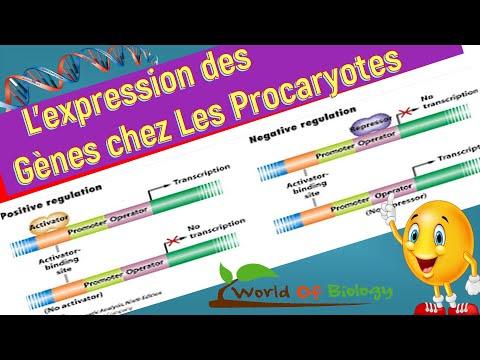 La Régulation de L'expression des gènes chez Les procaryotes
