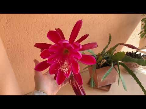 лесной кактус эпифиллум. Уход.