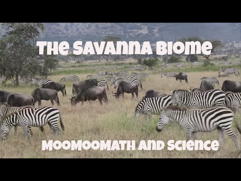 Savanna Grassland Biome Facts