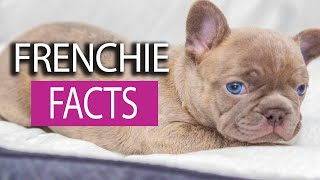 10 Facts about French Bulldogs