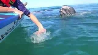 Baby  california gray whales in the lagoons of baja