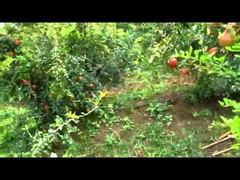 Natural farming part1 Pomegranate cultivation