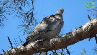 Смотреть видео Дикий голубь
