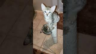 F4 SBT Savannah kittens