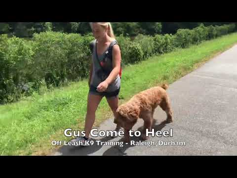 1yo Goldendoodle 'Gus' Before and After - Dog Training Raleigh Durham