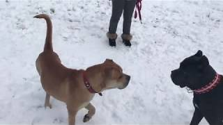 Собаки Ка де Бо Ричард и Кане Корсо Макалан Развлечение - Прогулка - Учеба  часть 2
