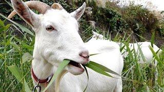 GOAT FARM - Wild Life Animal Planet - Video Kambing Lucu - ANGON WEDUS [HD]
