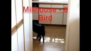 Millhouse Vs. Bird - The EPIC Battle