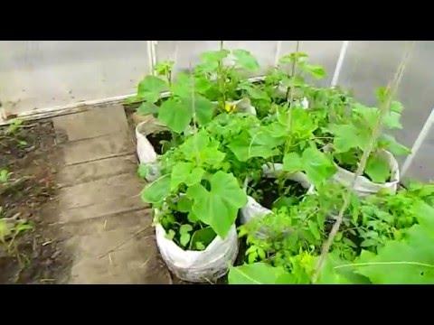 Выращивание огурцов в теплице , мешках