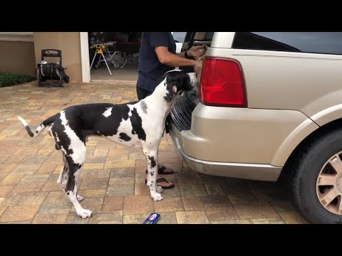 Excited Great Dane loves to help with the groceries