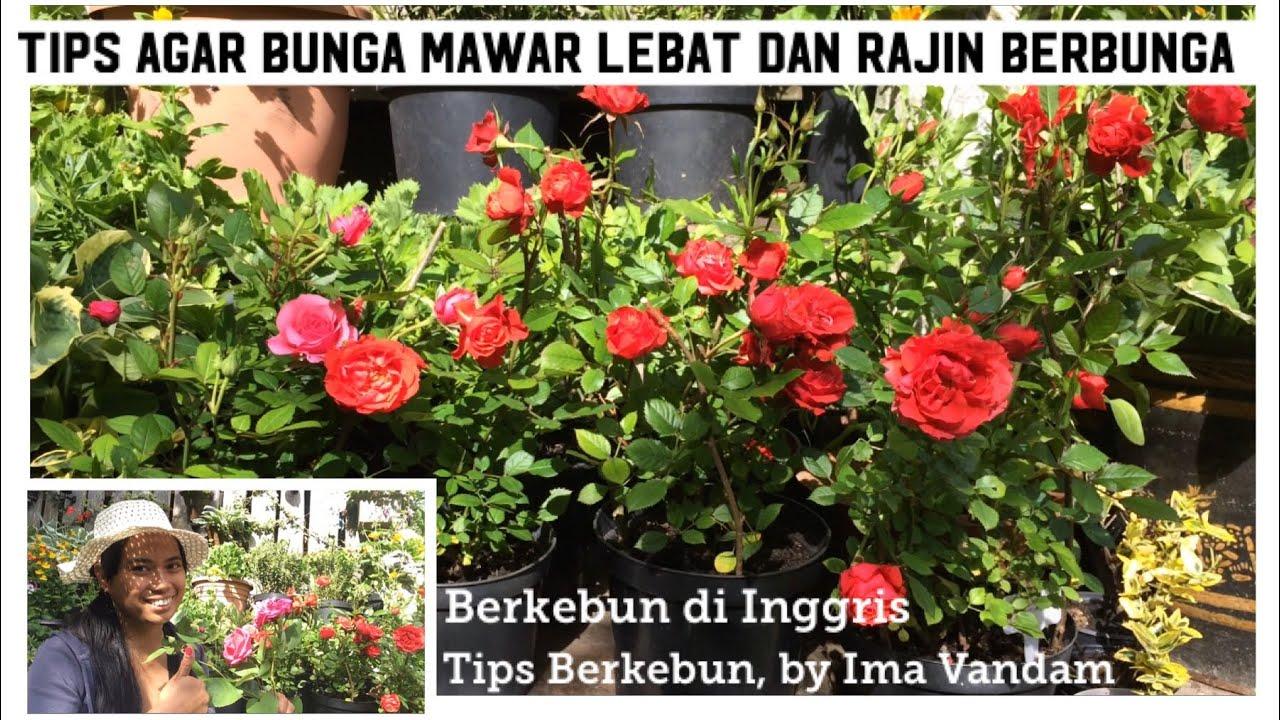 Tips Agar Bunga Mawar Lebat Rajin Berbunga Berkebun Di Inggris Youtube