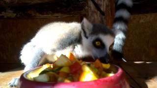 Завтрак в семействе кошачьих лемуров