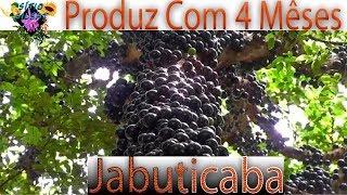 JABUTICABEIRA PRODUZ COM 4 MÊSES #SítioGilSat