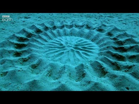 Pufferfish Love Explains Mysterious Underwater Circles