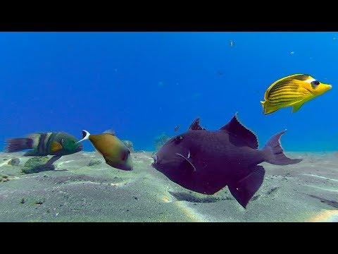 Blue Triggerfish - Red Sea