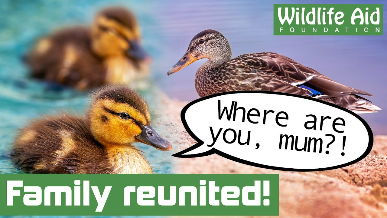 Can we get these lost DUCKLINGS back home to mum??
