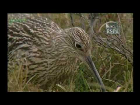Hen Harrier Hunting- Green Tv