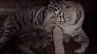 Бенгальская тигрица Азира снова стала мамой